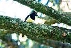 Aves passeriformes da família Corvidae. Apresentam alimentação baseada em sementes, frutos e pequenos invertebrados.<br /> <br /> Palavra-chave: canoras, pássaros, Corvidae, gralhas.
