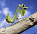 Inseto da ordem Mantodea, pertencente à Família Mantidae. Há cerca de 2000 espécies de louva-a-deus, a maioria das quais em ambiente tropical e subtropical.<br /> <br /> Palavra-chave: Zoologia, Insetos, Mantodea, Mantidae, Tropical, Subtropical.