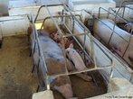 Contribuição do Professor Luiz Cesar Nadal. A reprodução dos porcos ocorre após 10 a 12 meses de idade. A gestação dura, aproximadamente, 4 meses e a ninhada pode apresentar mais de 12 filhotes. Durante o período de amamentação, as porcas devem ser bem alimentadas, para que produzam bastante leite.<br /> <br /> Palavra-chave: Suinocultura. Porcas. Leitões. Maternidade. Amamentação. Reprodução.