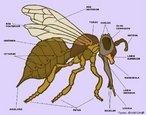 As abelhas, como os demais insetos, apresentam um esqueleto externo chamado exoesqueleto. Constituído de quitina, o exoesqueleto fornece proteção para os órgãos internos e sustentação para os músculos, além de proteger o inseto contra a perda de água. O corpo é dividido em três partes: cabeça, tórax e abdome.<br /> <br /> Palavra-chave: abelha, inseto, artrópodes.