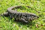 Teiú é o lagarto mais comum em cativeiro, no Brasil. Atinge até 1,4 m de comprimento. Cabeça comprida e pontiaguda, mandíbulas fortes providas de um grande número de pequenos dentes pontiagudos. Língua cor-de-rosa, comprida e bífida. Cauda longa e arredondada. Coloração geral negra, com manchas amareladas ou brancas sobre a cabeça e membros.<br /> <br /> Palavra-chave: lagarto, Teiú, cativeiro, Brasil, amarelo, Réptil, Zoologia, Biologia, Ciências.
