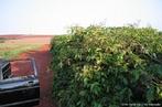 Cultivo onde ocorre até 10 mil plantas por hectare, impedindo a entrada de colheitadeiras e tratores nas áreas, favorecendo o uso de mão-de-obra. <br /> Palavra-chave: cultura, poda, técnicas, plantio.