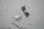 Filo Cnidaria, flutuante, empurrada pelo vento, com tentáculos para baixo, presença de células urticantes nos mesmos chamadas de cnidócitos e seus tentáculos podem chegar até 30 metros.<br /> <br /> palavra-chave: Cnidaria, Cnidócitos, Tentáculos, Urticante.