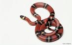 Filo Chordata, Classe Reptilia, Ordem Squamata. Cobras ou ofídios são répteis pecilotérmicos, sem patas.<br /> <br /> palavra-chave: Zoologia, Répteis, Ofídios, Ordem Squamata