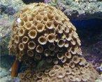 Organismos pertencentes ao filo Cnidário; apresentam exoesqueleto de calcário responsável pela formação dos recifes de corais.<br /> <br /> palavra-chave: antozoários, pólipos, cnidoblastos, recifes.