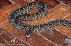 O porte desta serpente, em média, alcança 90 centímetros de comprimento. Alimenta-se de lagartos, ovos, anfíbios, lacraias, serpentes, mamíferos e aves. Tem como habitat buracos no chão e ocos de madeira em campos e matas do Brasil, Bolívia e Argentina. A cada gestação nascem de 10 a 35 filhotes. Vivem aproximadamente 20 anos.<br /> <br /> Palavras-chave: reptilia, squamata, serpentes, cobras, viperidae, jararaca pintada.