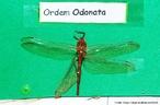 Constituem uma ordem relativamente pequena de insetos paleópteros, são excelentes voadores e predadores ativos de insetos. <br /> <br /> palavra-chave: Odonata, insetos, predadores, voadores, Zoologia, Biologia, Ciências.