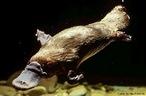 Mamífero semiaquático e ovíparo é natural da Austrália e Tasmânia. De hábito crepuscular e/ou noturno, possui um focinho que lembra bico de pato e membranas interdigitais nas patas, como adaptação para a vida em rios e lagos.<br /> <br /> palavra-chave: cordado, mamífero, Ornithorhynchus anatinus, monotrematas, produção de leite.