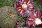Pinha ou Estróbilo é o órgão da planta, pertence a Divisão Pinophyta, depois de aberta, solta os pinhões que com o auxílio do vento irão originar um novo pinheiro.<br /> <br /> Palavra-chave: Estróbilo, Pinophyta, Pinhões, Pinheiro.