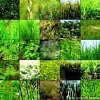 """Compreende organismos eucariontes, pluricelulares, autótrofos, com parede celular constituída por celulose e clorofila """"a"""" e """"b"""" em seus cloroplastos.<br /> <br /> palavra-chave: metaphyta, criptógamas, fanerógamas, briófitas, algas, pteridófitas, gymnospermas, angiospermas."""