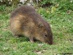 Espécie de roedor que atinge até 30 centímetros de comprimento e cerca de 1 quilo de peso. Possui orelhas pequenas, patas curtas e cauda não visível. A gestação dura de 60 a 70 dias e o número de filhotes em geral é de dois ou três, que nascem de olhos abertos e com pêlos. Vive nos brejos e nas proximidades de matas úmidas. Herbívoro.<br /> <br /> palavra-chave: mamífero, roedores, herbívoros, comestível, Cavia aperea, Galea spixii spixii.