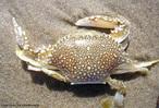 Animal invertebrado pertencente ao filo artrópode. Apresenta o corpo dividido em cefalotórax e abdome.<br /> <br /> Palavra-chave: crustáceo, artrópode, invertebrado, exoesqueleto quitinoso.