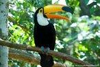 Ave da família Ramphastidae encontrado nas florestas da América Central e América do Sul. Apresenta um bico grande e oco e pés zigodáctilos (dois dedos direcionados para frente e dois para trás), típicos de animais que trepam em árvores. Alimenta-se de frutas, insetos, pequenas presas (perereca) ou ovos de outras aves.<br /> <br /> Palavra-chave: Ornitologia, frugívoros, toco, aves, tucano, Ramphastidae.
