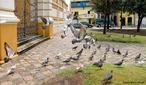 Filo Chordata, Classe das Aves, Ordem Columbidae, Família Columbiformes que inclui os pombos, pombas, rolas e rolinhas.Há cerca de 300 espécies desta famílias distribuídas em todos os continentes. Os columbídeos são aves de pequeno e médio porte, com pescoço, bico e patas curtas, que se alimentam de sementes e frutos.<br /> <br /> Palavra-chave: Chordata, aves, Columbidae, Columbiformes, espécies, porte.