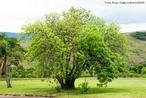 Árvore nativa do Brasil. É empregada na construção civil, como agente tintorial e/ou cultivada com fins ornamentais.<br /> <br /> Palavras-chave: Angiosperma, arrueira, corneíba, dermatites fitogênicas.