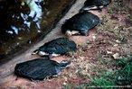 São répteis pequenos, medindo cerca de 35 cm de comprimento. Apresentam uma carapaça em formato achatado, delgada e de cor escura. Entre seus dedos existem membranas, adaptação à natação. Embora passe grande parte do tempo nadando, os cágados não vivem o tempo todo na água. São ágeis, utilizando a água como recurso de fuga quando se sente ameaçado em terra.<br /> <br /> Palavras-chave: Testudinata. Chelonios. Animais. Vertebrados. Reptilia.