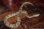 Este tipo de serpente apresenta hábito noturno, terrestre e pode ser encontrada em campos e cerrados. Alimenta-se de pequenos mamíferos, aves, lagartos, serpentes e anfíbios. A gestação dura em torno de quatro meses, ocorre uma vez ao ano e costumam nascer de 12 a 14 filhotes. Vivem em média 15 anos.<br /> <br /> Palavras-chave: répteis, ofídios, squamata, serpentes, caiçara, jararacão.