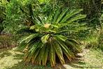 Planta ornamental, utilizada para o paisagismo, não chega a altura de uma árvore.<br /> <br /> Palavras-chave: planta, Cicadácea, paisagismo, Botânica, Biologia, Ciências.