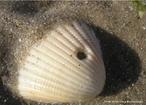 Estrutura calcária presente na maioria dos animais pertencentes ao filo Mollusca. Tem a função de proteger o corpo mole desses animais. <br /> Palavra-chave: univalvos, bivalvos, manto, esqueleto externo.
