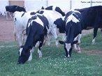 Contribuição do Professor Luiz Cesar Nadal. Bovinos da raça holandesa, universalmente conhecida como a de maior potencial para produção de leite. Apresenta pelagem branca e preta ou branca e vermelha.<br /> <br /> Palavras-chave: Bovino. Leiteiro. Raça. Holandesa. Europa. Cruzamentos. Fenótipo. Bezerros.