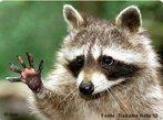 Animal vertebrado típico da América do Norte, pertencente a classe Mammalia e a família Procinideae. É um animal bastante curioso, inteligente e engraçado. Apresenta hábito noturno e se alimenta de: pássaros, ratos, insetos, peixes pequenos, lesmas, camarões de água doce, rãs, ovos, nozes, cereais e frutas. <br /> <br /> Palavras-chave: raccoon, procionídeos, mamíferos, mascarado, carnívoro.