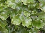Plantas do grupo das briófitas cujo gametófito possue uma forma lobada, lembrando o formato do órgão fígado. São avasculares e dependem da água para a fecundação.<br /> <br /> palavra-chave: Botânica, musgos, gametófito, esporófito.