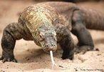 Espécie de lagarto que vive nas Ilhas de Komodo, Rintja, Padar e Flores, na Indonésia, habitando florestas e clareiras. É o maior de todos os lagartos atuais, chega a medir 3,5 m e a pesar até 110 kg, vivendo, em média, 50 anos. Possui a cabeça grande, o corpo maciço e as patas com fortes garras. São predadores que atacam e matam porcos selvagens, cabras, jovens búfalos, cavalos, macacos, veados e aves.<br /> <br /> palavra-chave: Réptil. Squamata. Sauria. arnívoro. Dragão. Lagarto. Komodo.