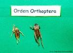A ordem Ortoptera inclui os gafanhotos, gafanhotos peregrinos, grilos e afins. São insetos de tamanho relativamente grande, com aparelho bucal mastigador, antenas de comprimento variável e olhos compostos bem desenvolvidos. <br /> <br /> palavra-chave: Orthoptera, insetos, salto, Zoologia, Biologia, Ciências.