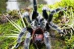 Presente em diversos ambientes (desde florestas tropicais até regiões áridas), vive em média de 10 a 15 anos em cativeiro e pode medir até 20 cm de comprimento. Possui hábito noturno, alimentando-se de insetos, pequenos répteis, anfíbios, entre outros.<br /> <br /> Palavra-chave: artrópodes, aracnídeos, aranha caranguejeira, quelíceras, ecdises.
