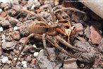 Esta espécie de aranha apresenta coloração marrom, com pelos vermelhos perto das quelíceras e uma mancha escura em forma de flecha sobre o corpo. Não constrói teias e vive em gramados e jardim.<br /> <br /> Palavra-chave: artrópodes, aracnídeos, aranha de jardim, grama.