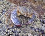 Filo Arthropoda, Classe Crustacea, possuem exoesqueleto constituído de carbonato de cálcio, por isso da carapaça dura - rígida.<br /> <br /> Palavra-chave: Arthropoda, Crustacea, exoesqueleto, carbonato de cálcio, biodiversidade, Biologia, Ciências.