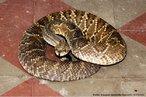 Esta serpente apresenta coloração parda, com desenhos em forma de losangos. A extremidade da cauda possui um guizo ou chocalho, que fica ereto e vibra quando a serpente sente-se ameaçada. Possui hábito terrestre e diurno e pode atingir 1,5 metro de comprimento.<br /> <br /> Palavra-chave: répteis, serpentes, cobras, cascavel, viveparidae.