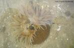 Filo Cnidaria, invertebrado pertencente à Família dos Cerianthidae, do grupo das anêmonas, corais e medusas, apresentam grande semelhança com as anêmonas do mar, mas somente na aparência, também chamadas por sua vez de anêmonas tubo. <br/><br/> Palavras-chave: Cnidaria, Cerianthidae, anêmonas, invertebrado, Zoologia, Biologia, Ciências.