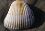 Estrutura calcária presente na maioria dos animais pertencentes ao filo Mollusca. Tem a função de proteger o corpo mole desses animais.<br /> <br /> Palavra-chave: univalvos, bivalvos, manto, esqueleto externo.