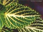 Este tipo de folha apresenta uma única nervura central primária que dá origem a nervuras de ordem superior.<br /> <br /> Palavra-chave: Botânica, anatomia, vegetal, nervuras, partes.