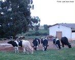 Contribuição do Professor Luiz Cesar Nadal. Bovinos da raça holandesa, resultado de uma série de cruzamentos entre bovinos de diversas regiões da Europa, universalmente conhecida como a de maior potencial para produção de leite.<br /> <br /> Palavra-chave: Bovino. Leiteiro. Raça. Holandesa. Europa. Cruzamentos.