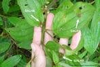 Três galhas produzidas por inseto indefinido em folhas de Melastomatácea.<br /> <br /> Imagem enviada pela professora Adriana Couto Pereira-Rocha PPGECO - UFPR.