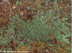 Plantas de pequeno porte que possuem uma forma lobada, lembrando o formato de um fígado. Vivem preferencialmente em ambientes úmidos e sombrios.<br /> <br /> Palavra-chave: briófitas, avasculares, talofítica, Marchantia, propágulos.