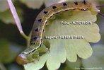 Estágio larval das borboletas.Têm o aspecto de verme, por vezes segmentado e com os rudimentos dos três pares de patas característicos dos adultos. Alimentam-se vorazmente obtendo energia suficiente para completar a fase de metamorfose dentro do casulo.<br /> <br /> Palavra-chave: metamorfose, larva, borboleta, estágio.