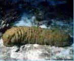 Animais invertebrados pertencentes a classe Holothuroidea. Apresentam corpo macio e alongado; alimenta-se de detritos orgânicos acumulados nos fundos lodosos e arenosos.<br /> <br /> Palavra-chave: Equinodermos, marinhos, pés ambulacrários, sistema hidrovascular.