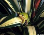 Anfíbio anuro da Família Ranidae, que vive na proximidade de lagos ou outros lugares úmidos, possui membrana nictante e pulmões quando adulta, mas sua respiração é cutânea.<br /> <br /> Palavra-chave: Zoologia, Anfíbios, Ordem Anura, Família Raníde, Pulmões, Cutânea, Lugares úmidos