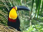 Apresenta uma faixa amarela no bico e o contorno dos olhos em vermelho. Mede cerca de 46 cm de comprimento e vive nas copas de florestas úmidas e em capoeiras altas. Encontrado no Brasil, nas Guianas, Venezuela e Bolívia. Põe de 2 a 4 ovos e o período de incubação é de 18 dias.<br /> <br /> Palavra-chave: Ramphastos vitellinus ariel, aves, piciforme, Ramphastidae.