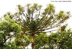 Gimnosperma - Gênero de árvores coníferas da Família Araucariaceae.<br /> <br /> Palavra-chave: Ciências, Botânica, Biologia, árvores, coníferas, família.