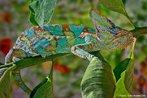 Répteis da ordem dos lacertílios, se alimentam basicamente de insetos. Na hora da caça, ele se movimenta lentamente para não assustar sua presa, o sucesso da captura depende de sua língua protáctil, que pode atingir quase um metro na velocidade de um piscar de olhos. Esta lentidão, porém, facilita o ataque de seus predadores, motivo pelo qual o camaleão imita a cor do ambiente onde se encontra, processo conhecido como camuflagem. <br /> <br /> Palavra-chave: Répteis. Lacertílios. Camuflagem. Defesa. Ataque. Predadores.