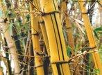 Os caules eretos crescem em posição vertical em relação ao solo. O caule do tipo colmo apresenta nós e entrenós bem visíveis. Pode ser oco, como o bambu, ou cheio, como a cana-de-açúcar.<br /> <br /> Palavra-chave: Botânica, angiospermas, caules, condução, seivas, sustentação.
