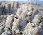 São crustáceos marinhos sésseis. Quando adultos têm o exoesqueleto calcificado composto por várias placas que definem uma forma cónica. Fixam-se normalmente a substratos rochosos, em fundos de barcos (onde causam estragos) ou em outros animais (por exemplo baleias).<br /> <br /> Palavra-chave: cirripédias, artrópodes, crustáceos, exoesqueleto.