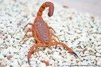Esta espécie de escorpião apresenta tronco marrom-escuro com pedipalpos e patas amareladas. Mede cerca de 6 a 7 centímetros. Vivem em média 5 anos. A umidade somada a lixo, entulhos e sujeira formam um habitat ideal para seu desenvolvimento. Alimentam-se de animais vivos, sendo as baratas, um dos seus alimentos prediletos.<br /> <br /> Palavra-chave: artrópodes, aracnídeos, scorpiones, télson, aguilhão, veneno, escorpião amarelo.