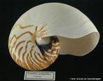 Cefalópodes marinhos arcaicos que foram muito abundantes no Paleozóico, existindo ainda um género vivo — o nautilus — que vive no sudoeste do Oceano Pacífico.<br /> <br /> Palavra-chave: Cefalópodes, marinhos, Paleozóico, Pacífico, Zoologia, Biologia, Ciências.