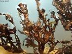 Alga de coloração vermelho a pardo devido aos pigmentos fotossintetizantes: ficoeritrina e ficocianina. São fornecedoras de estruturas de habitat para outros organismos marinhos e produtoras na cadeia alimentar marinha. <br /> <br /> Palavra-chave: reino Plantae, Rodophyta, algas superiores.