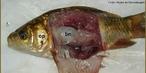 Foto mostra as partes de um peixe ósseo: op = opérculo; bn = bexiga natatória (bexiga gasosa).<br /> <br /> Palavra-chave: partes, peixe, ósseo, biodiversidade, Zoologia, Biologia, Ciências.